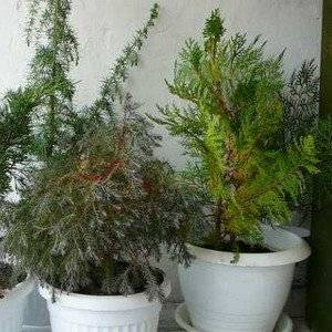 Хвойные растения нуждаются в регулярном поливе