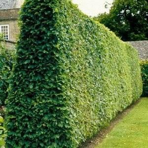 Изгородь из граба нужно правильно формировать
