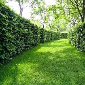 Живую изгородь нужно постоянно формировать