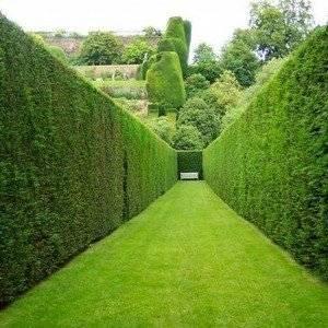 Живая изгородь может служить ограждением