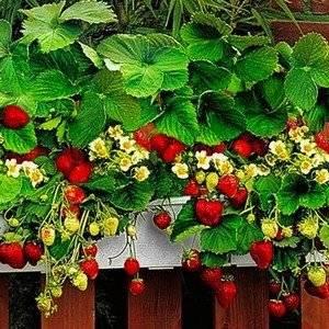 Клубника может расти на балконе