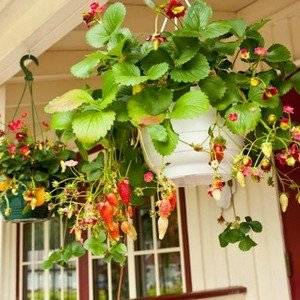Клубника на балконе может давать плоды круглый год