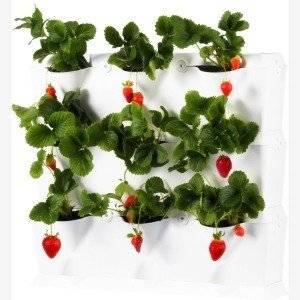 Для выращивания на балконе подойдет клубника фриго