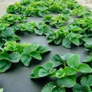 Агроволокно защищает клубнику от сорняков