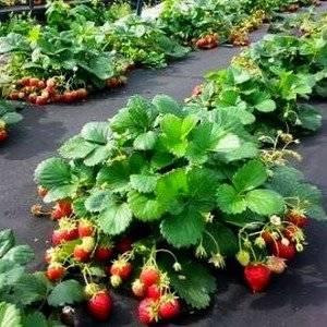 Клубнику удобно выращивать на агроволокне