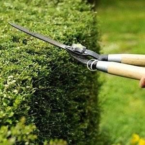 Обрезку изгородей проводят садовыми ножницами
