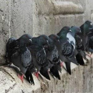 Голубей отпугивают от балкона