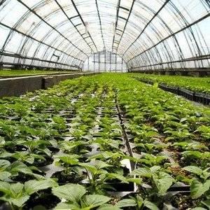 Овощи выращивают в теплице