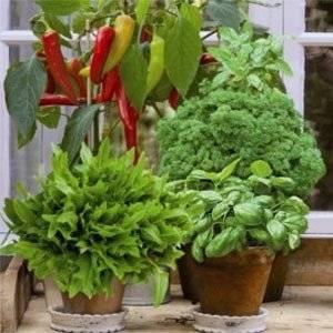 На балконе растут теплолюбивые овощи