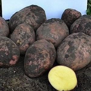 Сорт картофеля Повинь