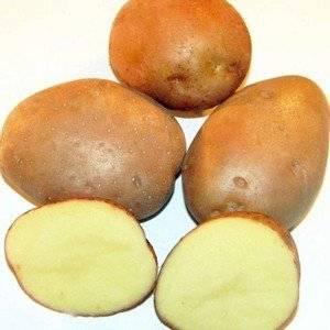 Сорт картофеля Серпанок