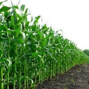 Кукурузу используют на сидерат