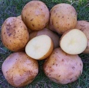 Сорт картофеля Електра
