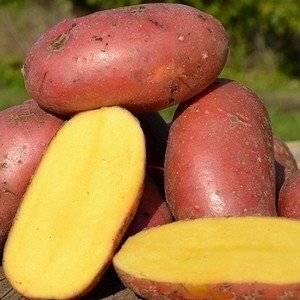 Сорт картофеля Лаура