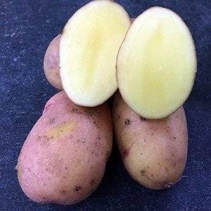 Сорт картофеля Рози