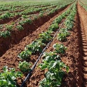 Выращивание картофеля занятие интересное
