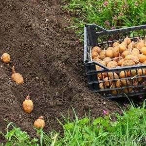 Картофель выращивают по разным технологиям