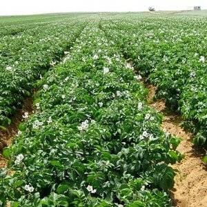 Картофель садят с большими междурядиями