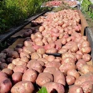 Выращивание картофеля сулит большой урожай