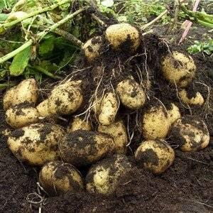 Выращивая картофель нужно подобрать удачный сорт