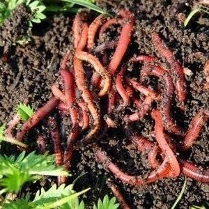 Биогумус делают благодаря калифорнийскому червю