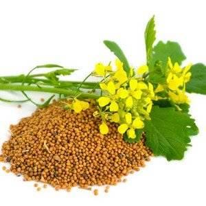 Горчичный порошок используется для защиты растений