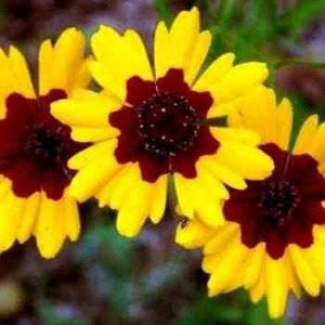 Кореопсис сможет посадить любой садовод