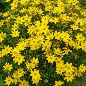 Кореопсис украсит любой сад