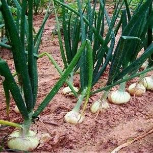 Лук можно садить на гребни, что обеспечивает его ранний урожай