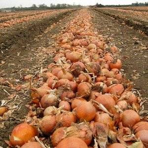 Лук, посаженный на гребни, дает большие луковицы