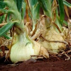 Если посадить лук китайским способом на гребни, он даст обильный урожай
