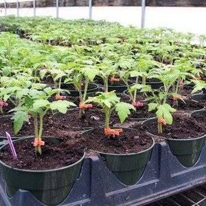 Выращивая рассаду томатов нужно следить за температурой помещения