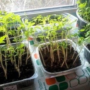 Выращивая рассаду томатов не стоит ее перезаливать