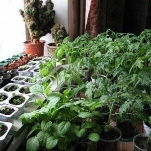 Ошибки при выращивании томатов бывают разными