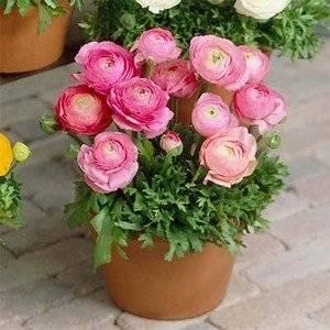 Ранункулюс при правильном уходе долго цветет