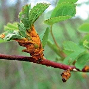 Ржавчина растений может поражать ветки