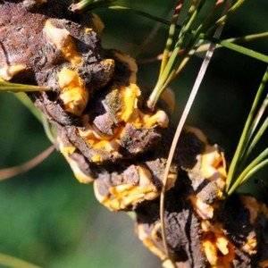 Раживчина может поражать хвойные растения