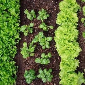 Совместимые растения улучшают вкус друг друга