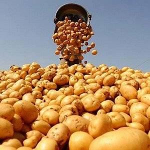 Для увеличения урожая картофель поливают