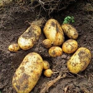 Урожай картофеля может быть большим